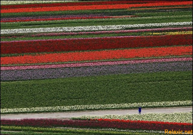 dutch_tulips_016