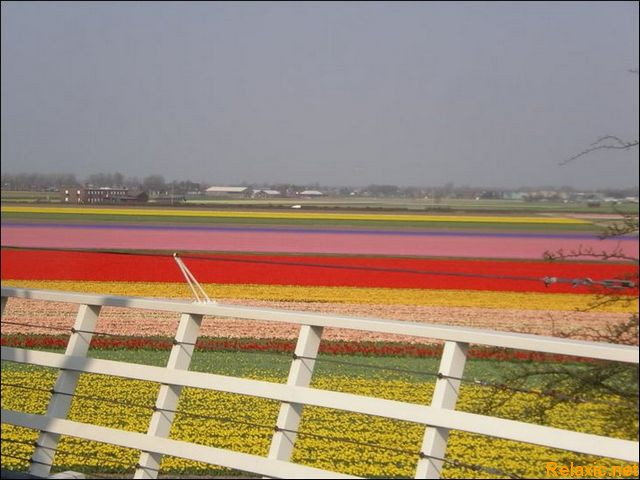 dutch_tulips_018
