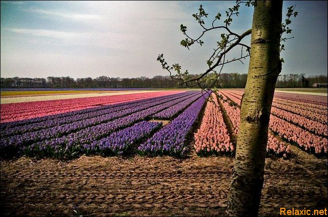 dutch_tulips_019