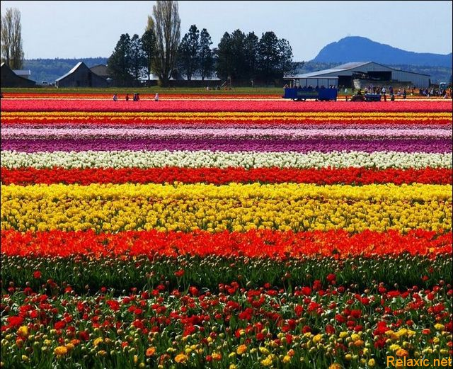 dutch_tulips_021