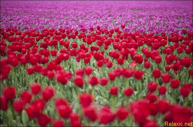 dutch_tulips_026