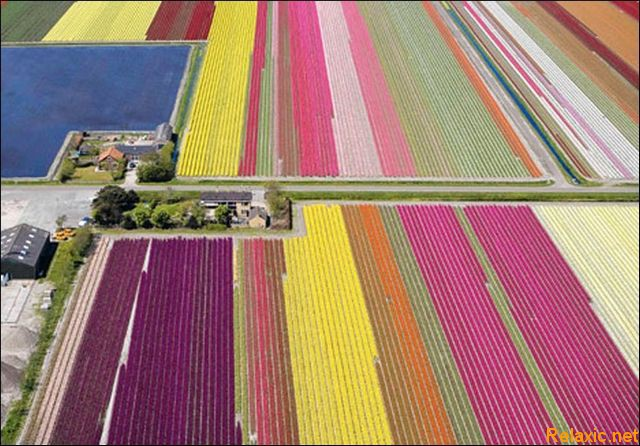 dutch_tulips_028