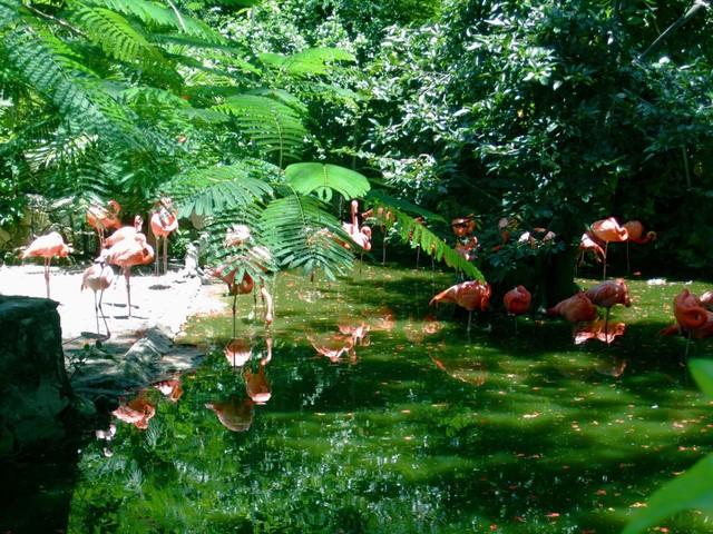 flamingos-Ardastra-Gardens-Nassau-Bahamas_1