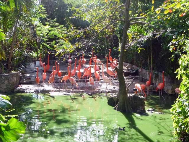 flamingos-in-Ardastra-Gardens_1
