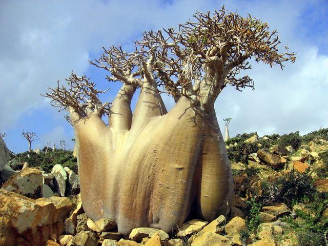 10729060-R3L8T8D-900-Socotra-island-trees-thesuiteworld_1