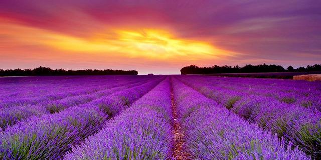 Lavender-fields_001
