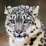 Красота и грация снежных барсов: неописуемая красота ирбисов