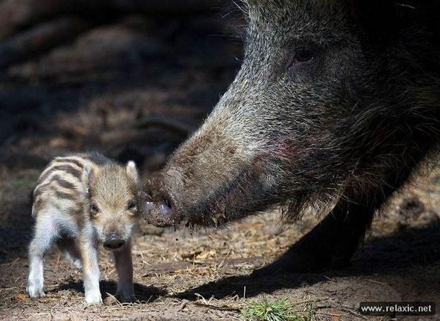 Animals_with_babies_011