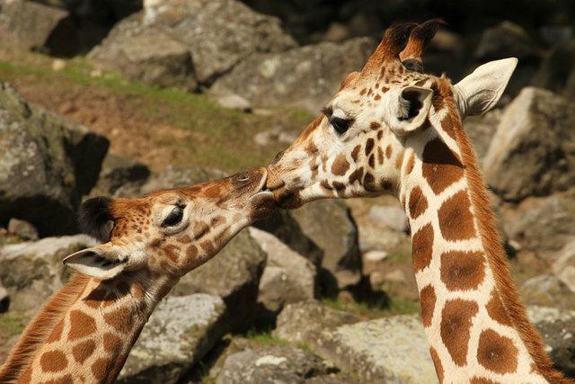 animal_kiss_14