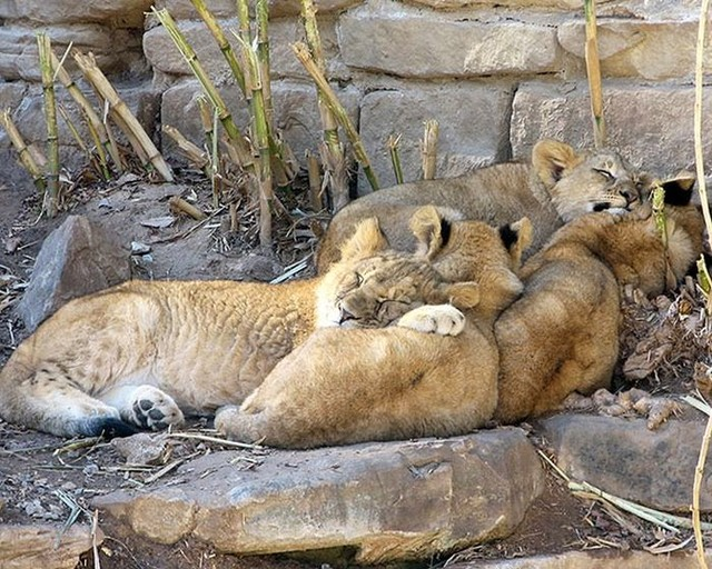 cute_animals_sleeping_pillows_06_1