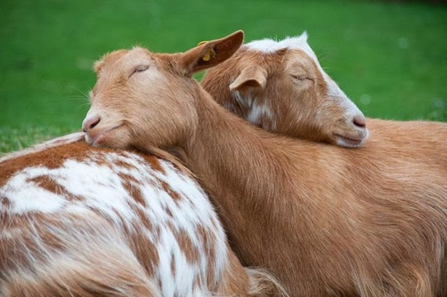 cute_animals_sleeping_pillows_18_1