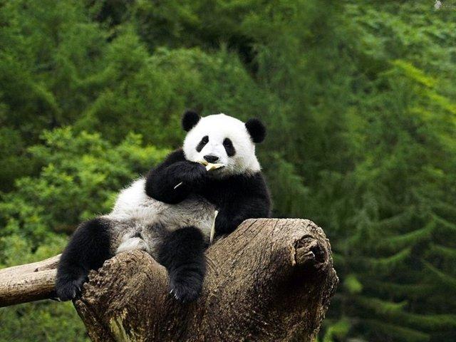 great_panda_02