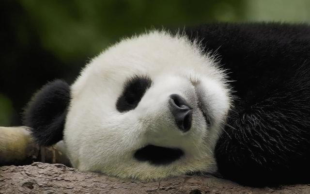 great_panda_03