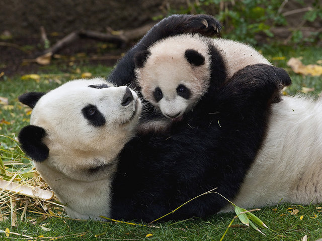 Giant Panda (Ailuropoda melanoleuca) mother and cub playing, native to China