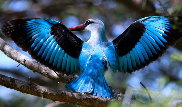 Woodland Kingfisher, Halcyon senegalensis at Marakele National P
